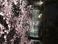 王子動物園の夜桜通り抜け入場行きました