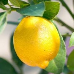 夏バテ、冷房対策には  レモン