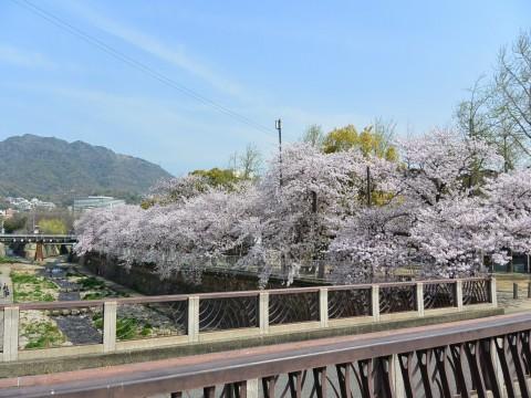 DSC_1156sakura_ks.jpg