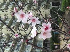 桜じゃないよ。16・3・19