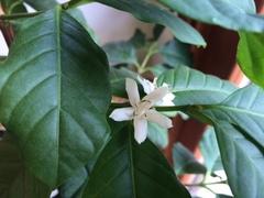 コーヒーの花が咲いた