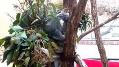 王子動物園 コアラ