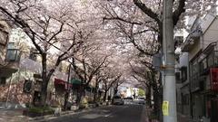 灘駅前の桜のトンネル